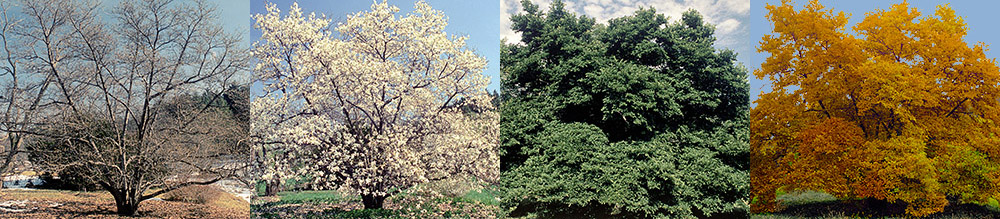 Trees 4 Seasons: a Visual Guide, a resource on 79 deciduous trees in the four seasons